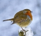 Newcomers Projected Images - Third - Snowy Robin by Barry Heaton