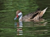 Old Timers\' Trophy - First - White-Cheeked Pintail by Alan Sawyer