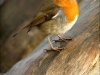 Old Timer Trophy - First - Robin On Water-Worn Wood by Geoff Coe