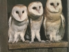 Advanced Colour Prints - HC - Young Barn Owls by David Higgins (October 2012)