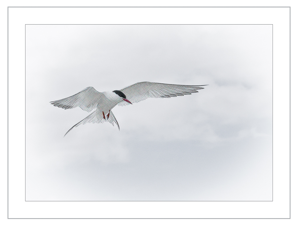 Advanced Colour Prints - HC - Arctic Tern Impression by Tim Booth (November 2013)
