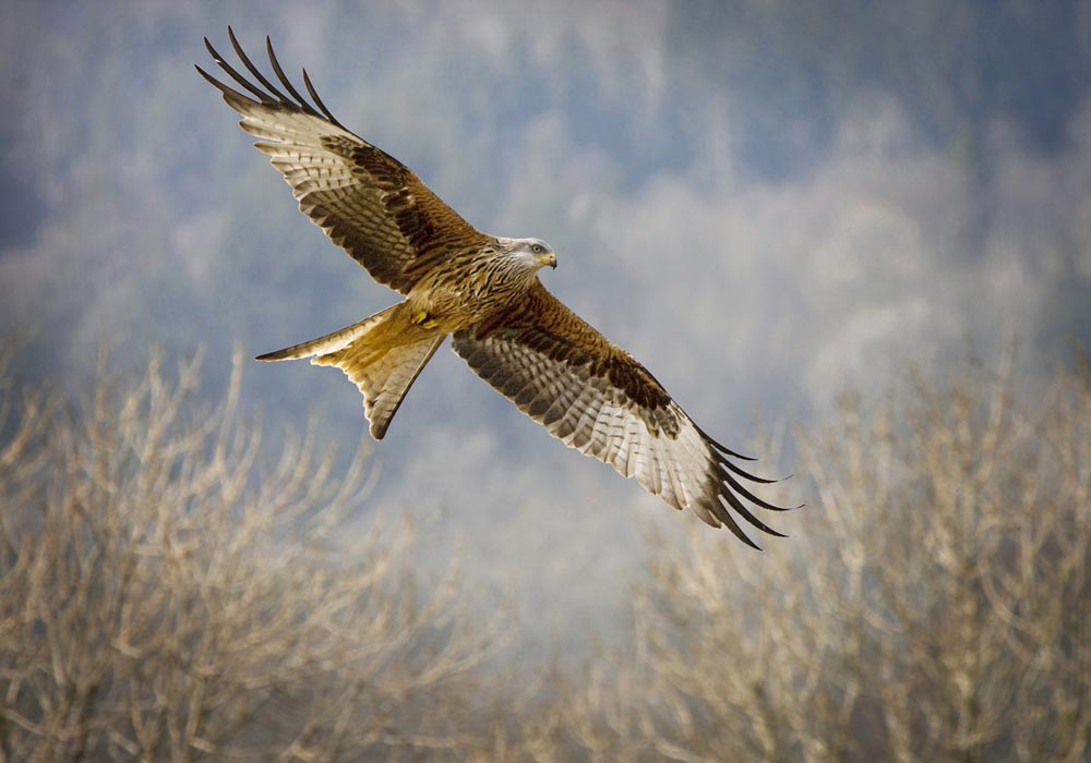 Advanced Projected Images - First - Red Kite In Flight - by Alan Thomson (October 2013)