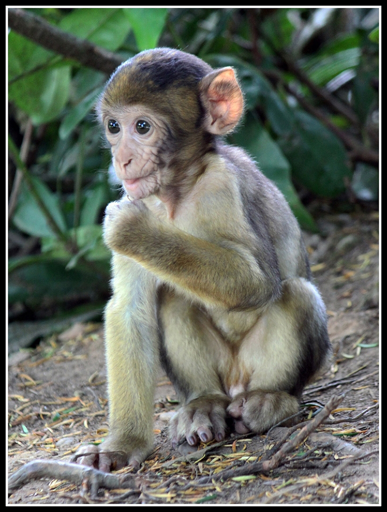 Advanced Projected Images - HC - Baby Barbary Macaque by Graeme Fyfe (December 2013)
