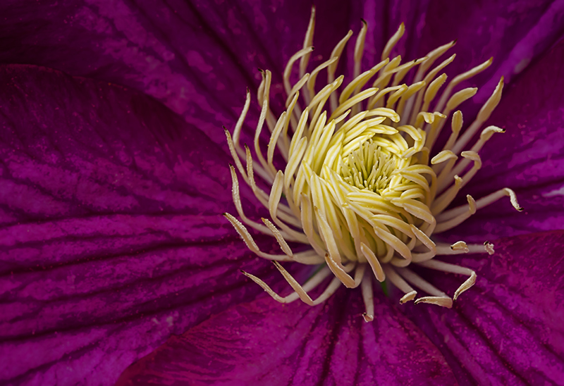 Advanced Projected Images - HC - Clematis by Jeff Saunders (December 2013)