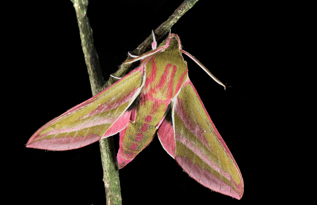 Newcomers Projected Images - Second - Elephant Hawk Moth by Steve McLellan (December 2014)