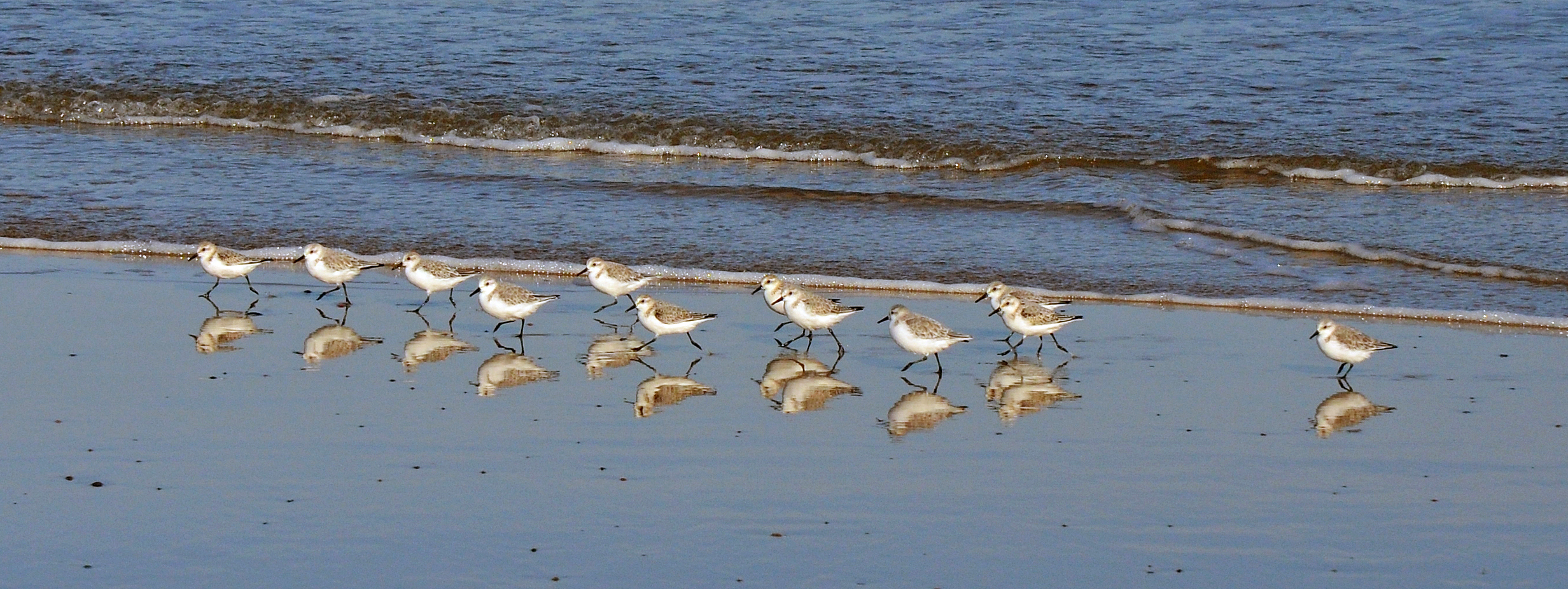 Advanced Projected Images - First - Sanderling Reflections by Carrie Calvert (November2014)