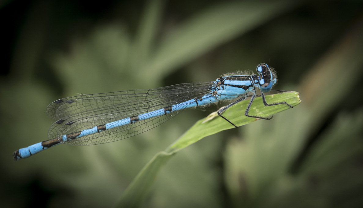 Advanced Projected Images - HC - Dameselfly by Jeff Saunders (October 2014)