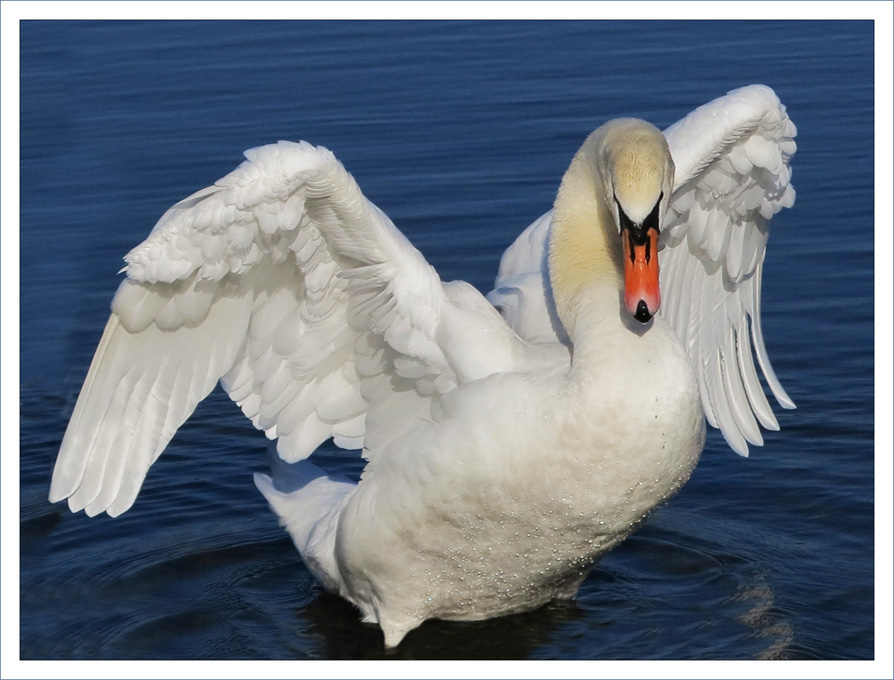 Advanced Projected Images - HC - Flapping Swan by Derek Nash (October 2014)