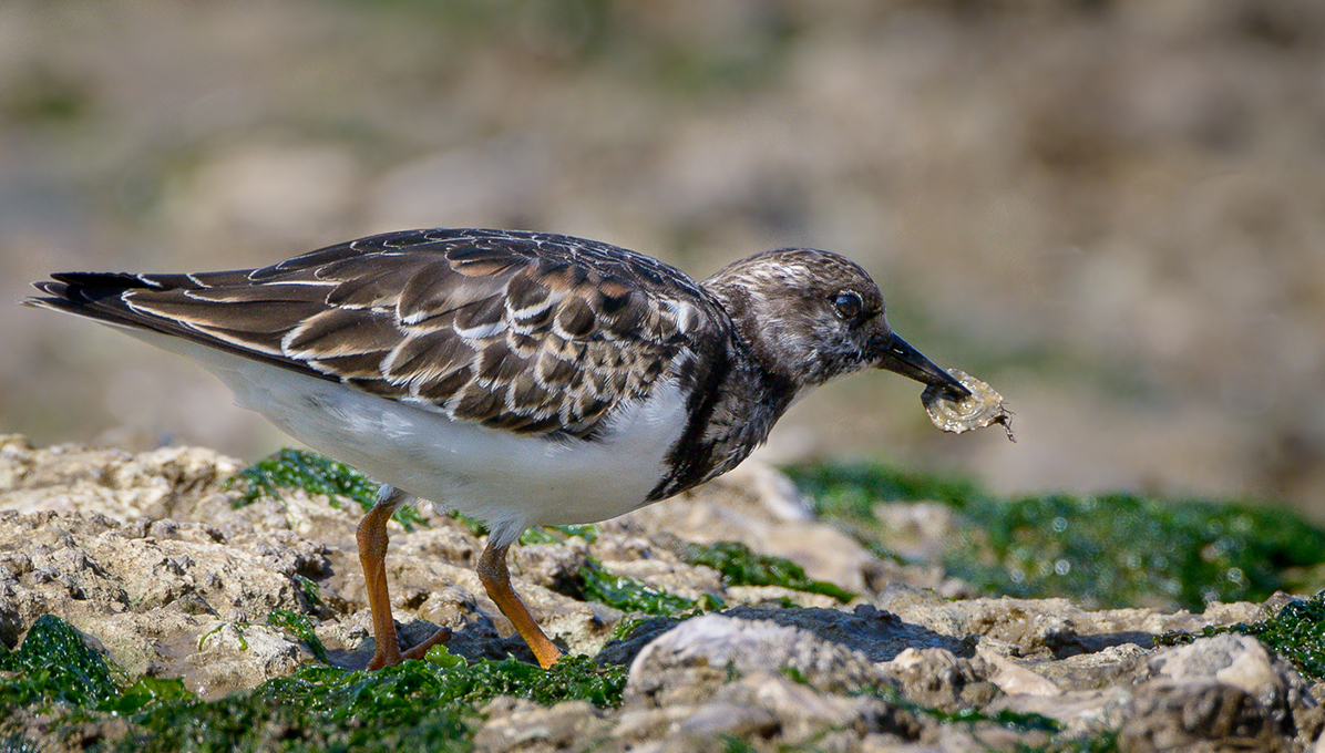 Advanced Projected Images - Second - Turnstone by Alan Sawyer (October 2014)