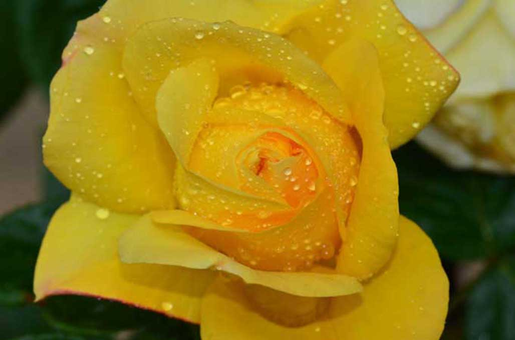 Newcomers Projected Images - Third - Yellow Rose by Gordon Cumming (October 2014)