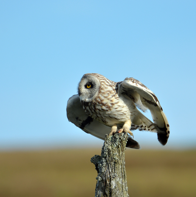 Advanced Colour Prints - HC - Short Eared Owl On The Dawn Hunt by Carrie Calvert (October 2015)
