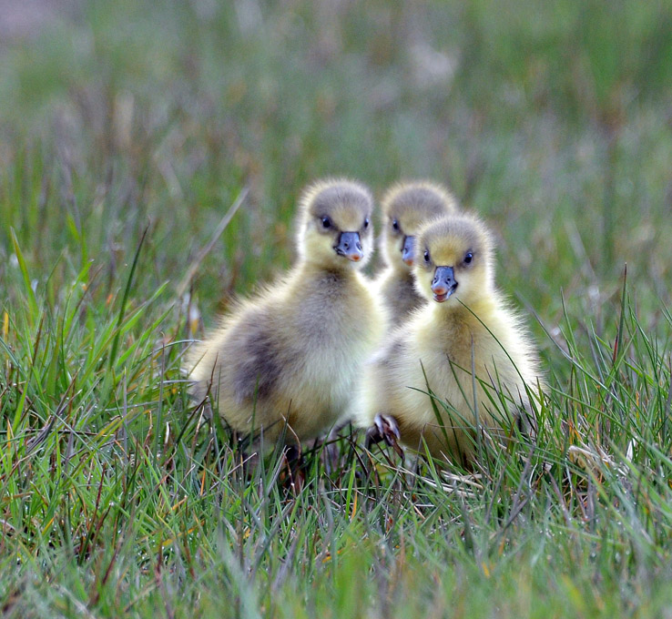 Advanced Colour Prints - Second - Greylag Goslings Looking For Mum by Carrie Calvert (October 2015)