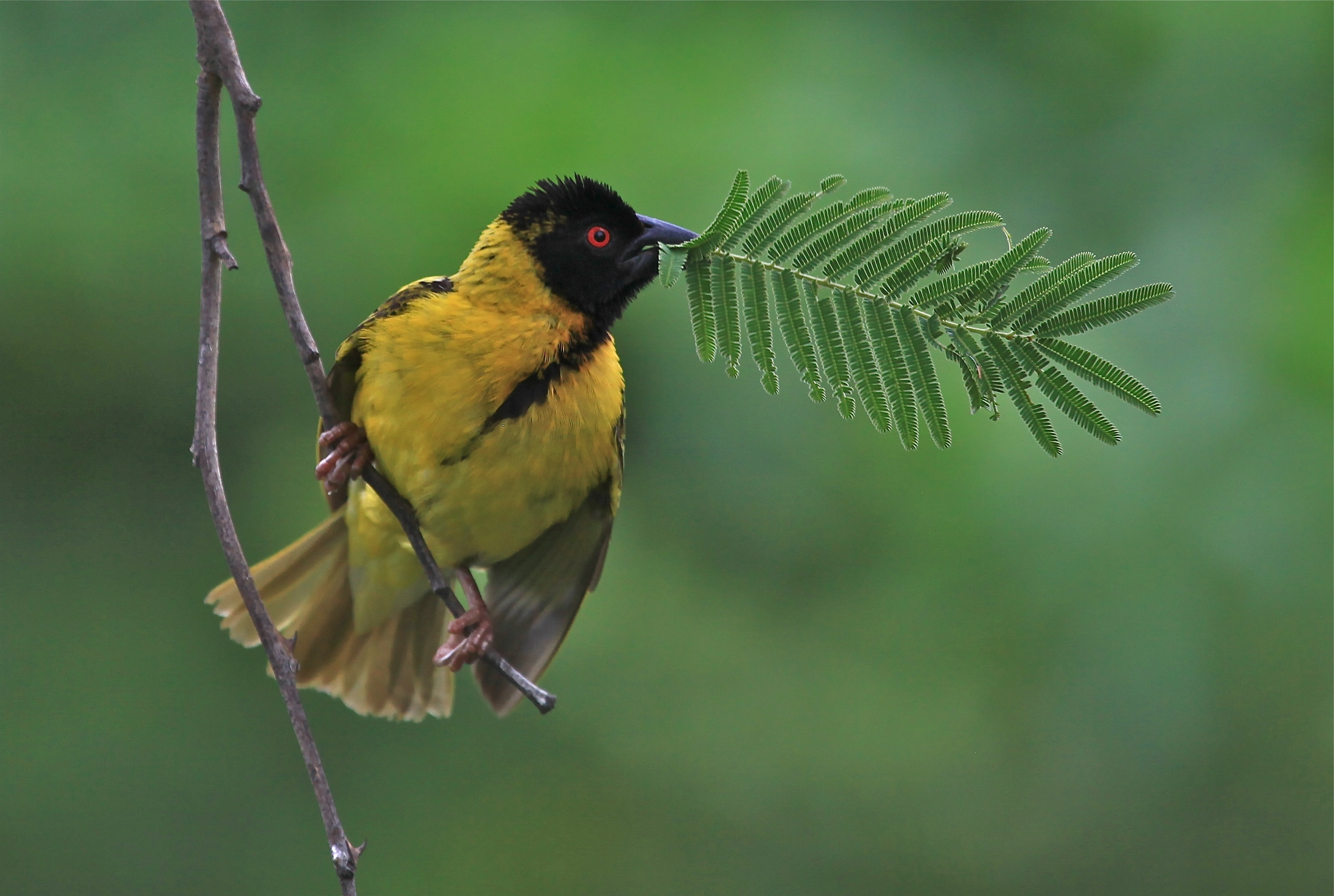 Advanced Coloured Prints - HC - Weaver Birds by Ashley French (January 2016)