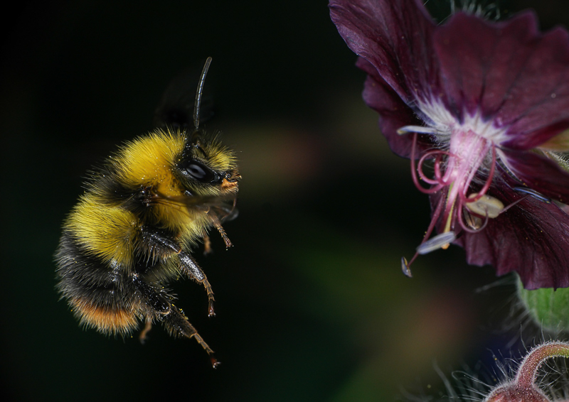 Advanced Projected Images - Second - Busy Bee by Roger Mepstead (December 2015)