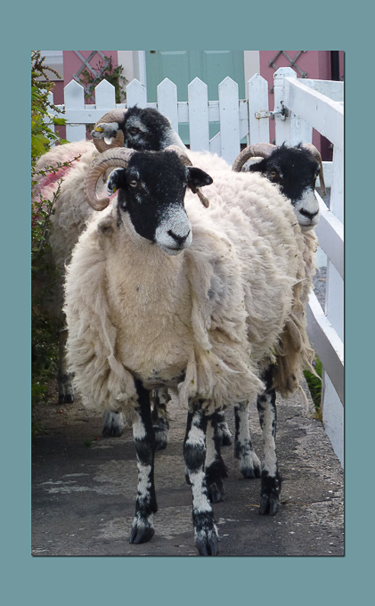 Newcomers Prints - Third - Sheep Worrying by Karen McLellan (December 2015)