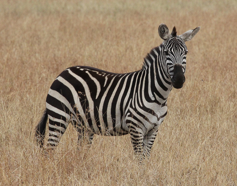 Newcomers Projected Images - First - Zebra by Don Jary (January 2016)