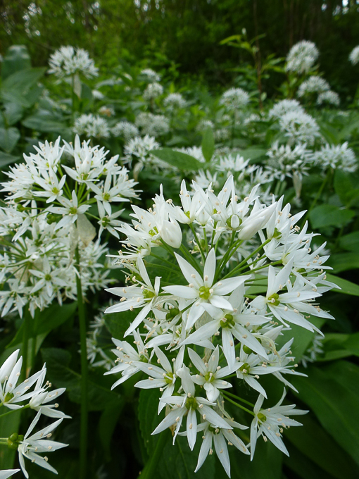 Newcomers Projected  Images - Third - Wild Garlic by Karen McLellan (December 2015)