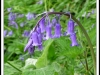 Newcomers Prints - Third - Bluebell by Karen McLellan (November 2015)