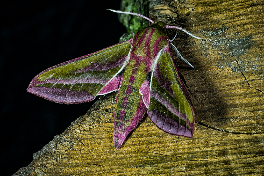 Advanced Colour Print - HC - Elephant Hawkmoth by Steve McLellan (October 2016)