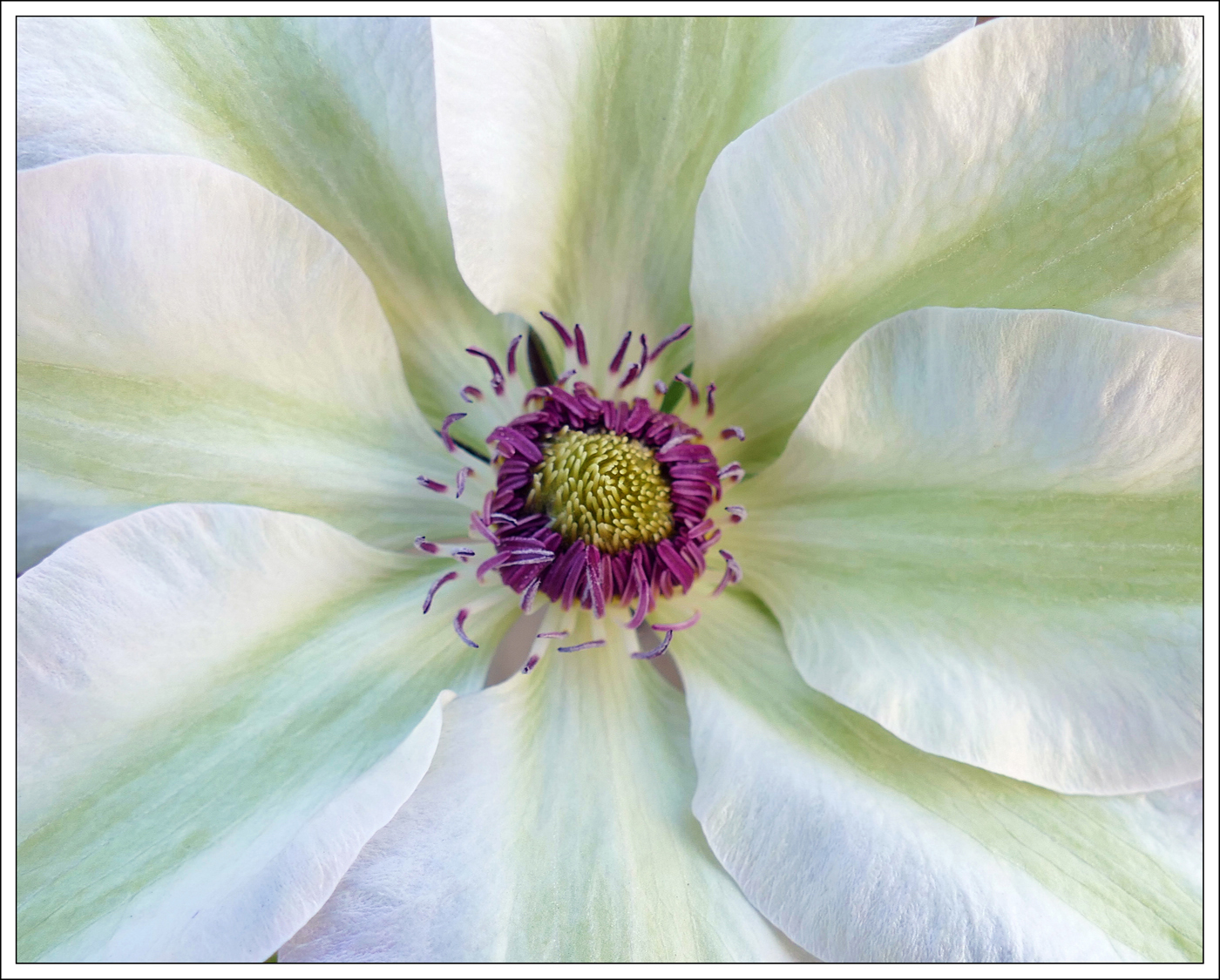 Advanced Colour Prints - HC - Clematis by Lawrence Graham (January 2017) (January 2017)