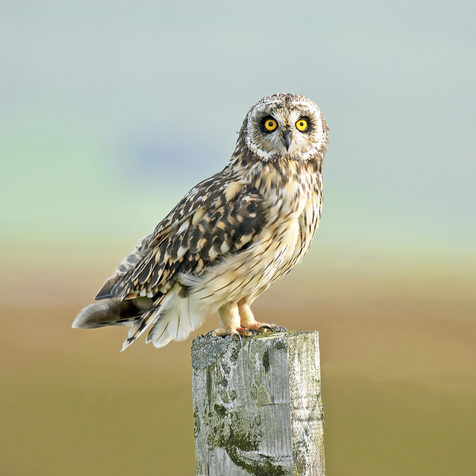 Advanced Colour Prints - Third - The Piercing Gaze Of A Short Eared Owl by Carrie Calvert (November 2016)