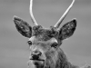 Advanced Monochrome Prints - First - Young Buck by Carrie Calvert (December 2016)