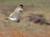 Advanced Projected Images - First - Low Flying Short Eared Owl by Carrie Calvert (December 2016)