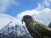Advanced Projected Images - HC - The World's Only Alpine Parrot by Karen McLellan (December 2016)