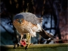 Sparrowhawk  With Prey by Alan Thomson