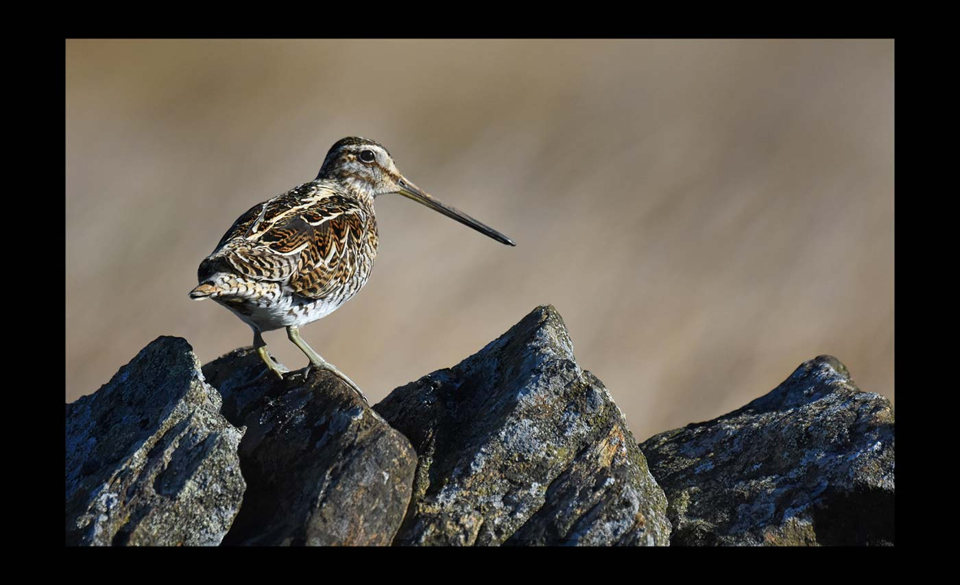 Advanced Colour Prints - C - Snipe by Carrie Calvert