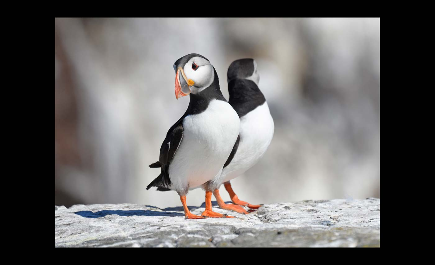 Advanced Colour Prints - First - Puffin Pair by Carrie Calvert
