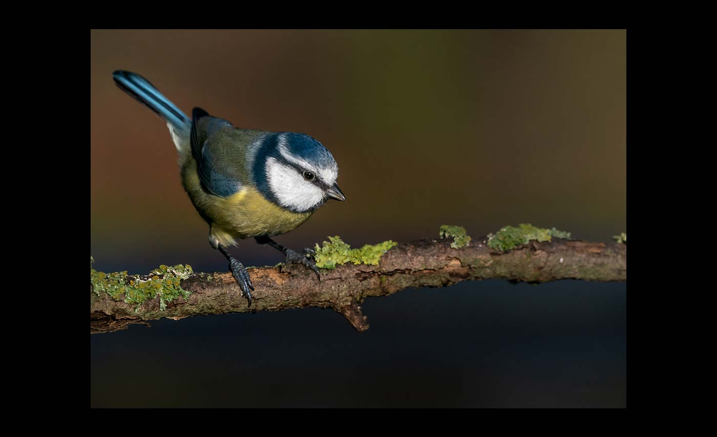 Advanced Colour Prints - HC - Bluetit by Steve McLellan