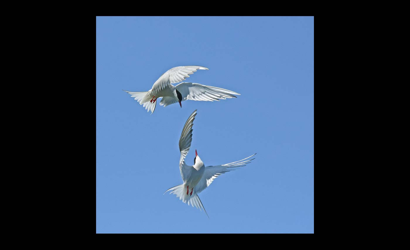 Advanced Colour Prints - Third (Joint) - Dancing Terns by Carrie Calvert