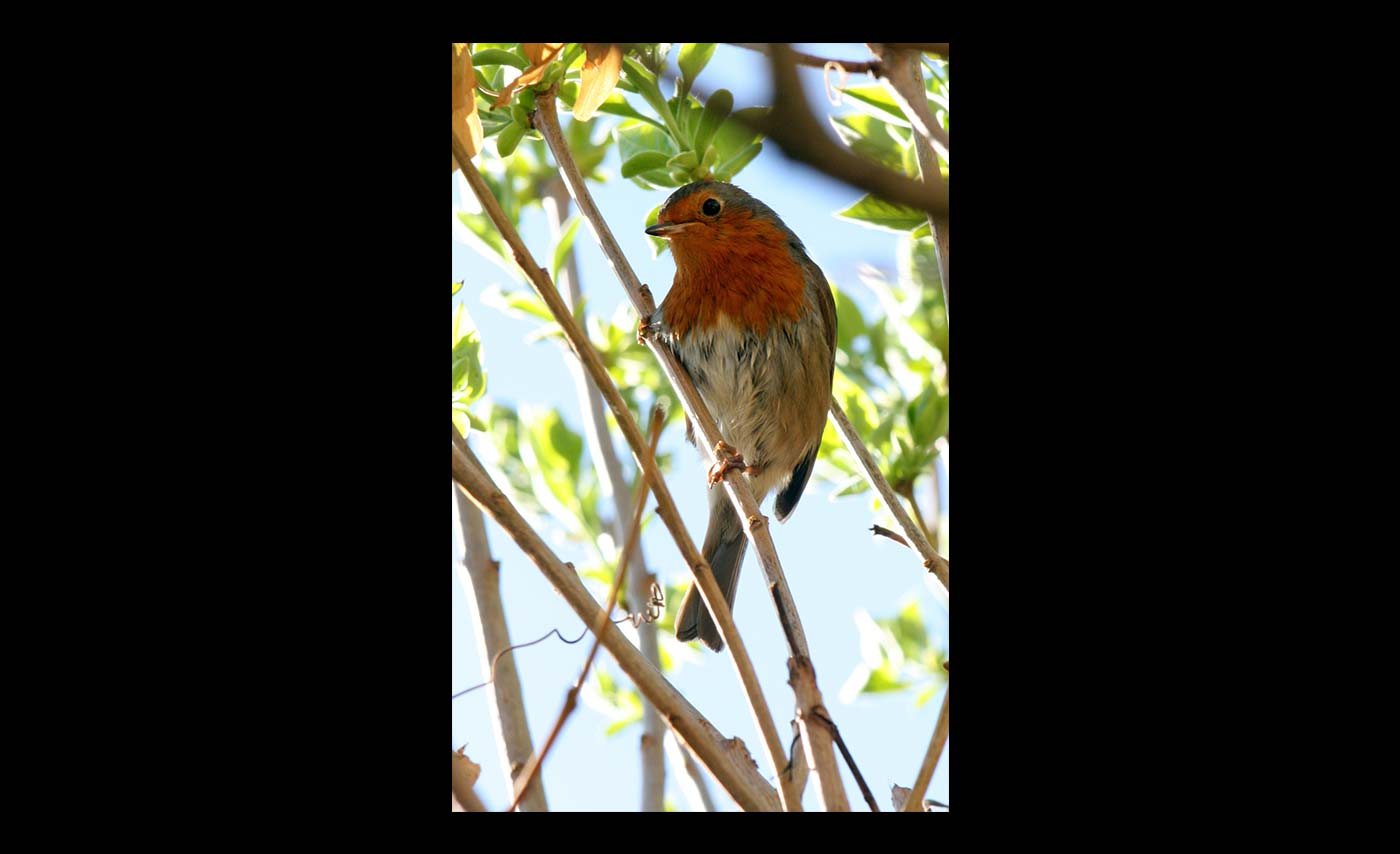Club-Prints-HC-Summer-Robin-by-Malcolm-Roberts