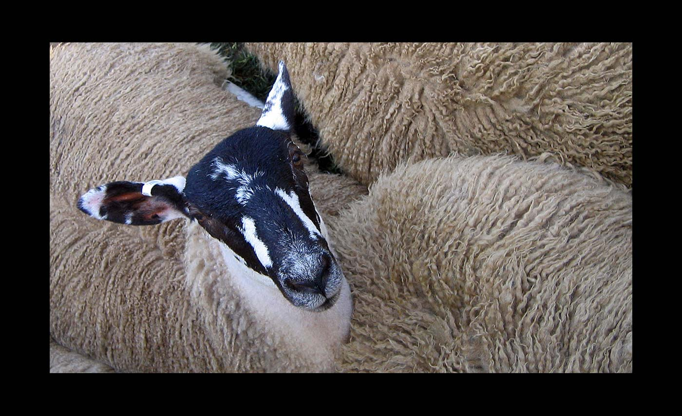 Club-Projected-Images-Third-Ewe-Looking-At-Me-by-Malcolm-Roberts