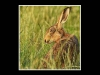 Advanced Colour Prints -Third - Hare In The Meadow by Carrie Calvert