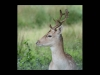 Advanced Projected Images - HC - Fallow Deer by Carrie Calvert