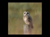 Advanced Projected Images - HC - Short Eared Owl by Carrie Calvert