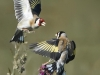 Victory Cup - Second - Goldfinch  Squabble by Carrie Calvert