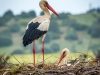 Old Timers Trophy-1st-Nesting Storks-by Norman Butler