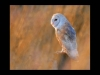 Advanced Projected Digital Image - HC - Barn Owl In Autumn Light by Carrie Calvert