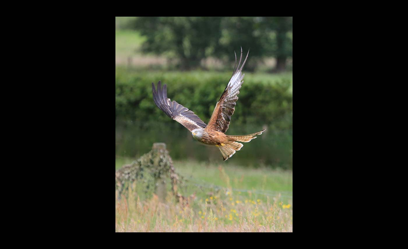 Advanced Class - Colour Prints - Commended - Ashley French - Red Kite Hunting