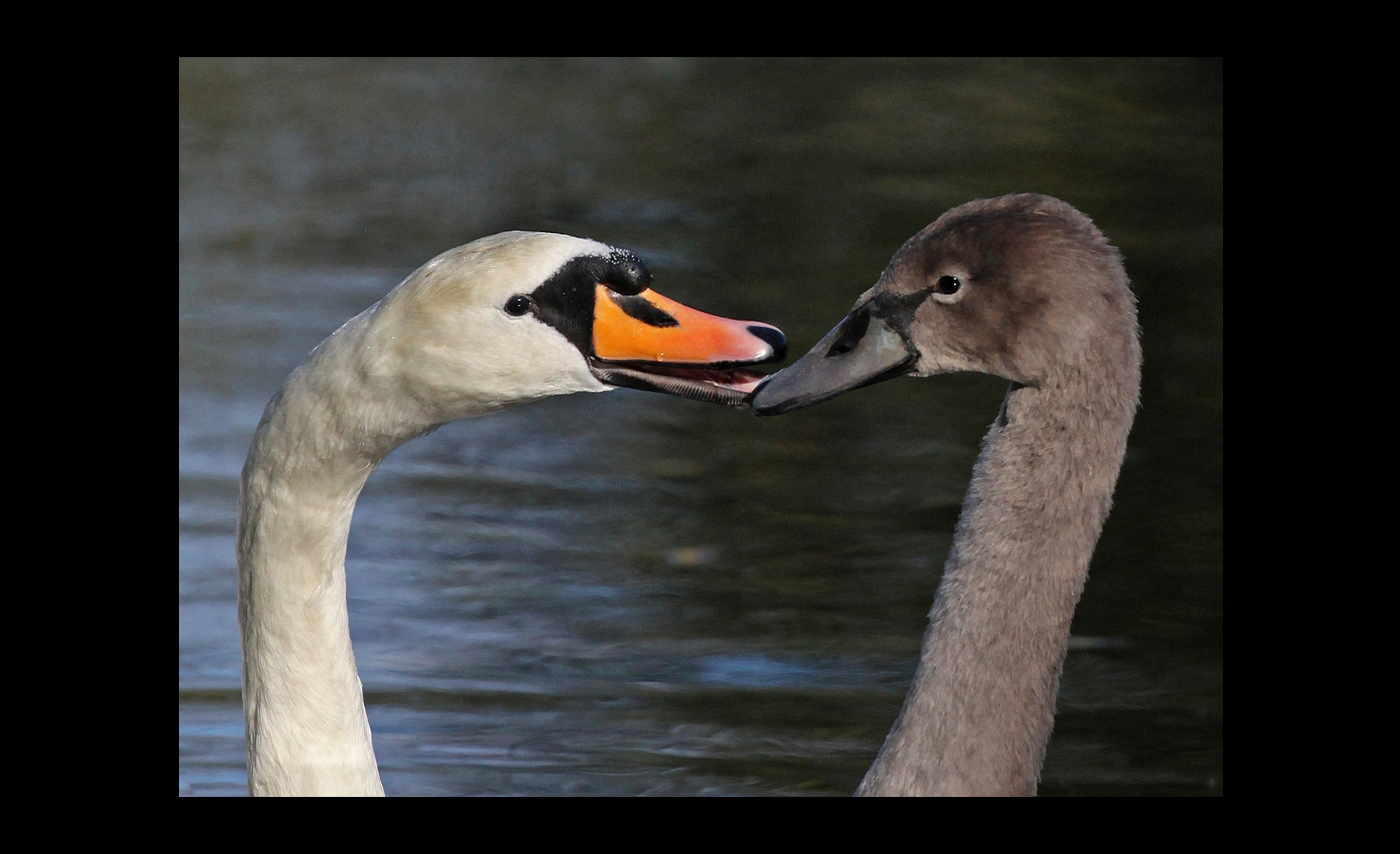 Advanced Class - PDI - Commended - Carrie Calvert - Swan And Cygnet