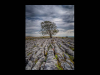 Advanced Colour Print - Third - Limestone Pavement Tree by Brian Hinvest