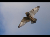 Advanced-Colour-2nd-Short-Eared-Owl-Hunting-Carrie-Calvert
