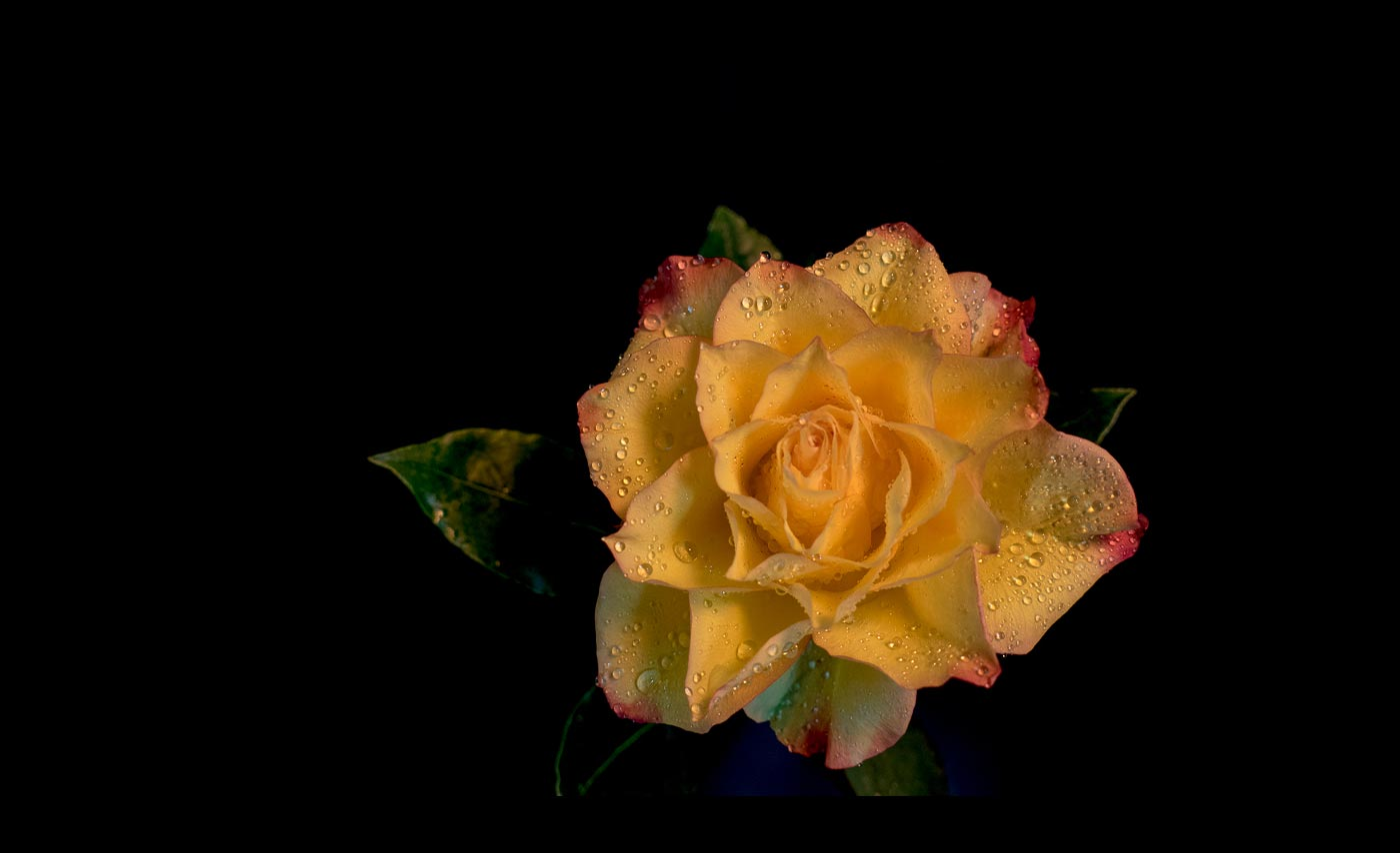 Club-Colour-HC-Pink-Flushed-Rose-with-water-drops-Patricia-Martin