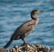 Advanced  Projected Images - HC - Cormorant by Alan Sawyer