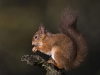 Advanced Projected Images - HC - Red Squirrel by Ian Jolly
