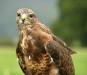 Newcomers Projected Images - HC - Buzzard by Ken Scott