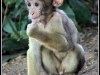 Advanced Projected Images - HC - Baby Barbary Macaque by Graeme Fyfe